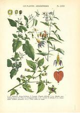 Stampa antica FIORI BELLADONNA ALKEKENGI MORELLA botanica 1927 Old Antique print