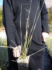 DASYLIRION ACROTRICHUM vq Dasylirio acrotrico Great Desert Spoon Sotol plant