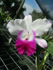New listing Lc Mem Robert Strait 'Islander Delight' orchid plant (179)