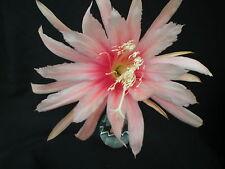 "Epiphyllum,Orchid Cactus, "" MAHARANEE "" , Cuttings"