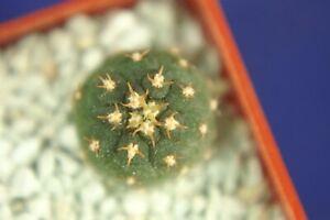 GYMNOCALYCIUM UNGUISPINUM SL44b =1/3= cacti 仙人掌 กระบองเพชร kakteen #6036