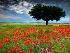 50000 Graines Coquelicot Rouge 'Papaver rhoeas' Flanders poppy seeds