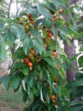 2 LIVE PLANTS AMERICAN PERSIMMON TREE 1' to 2' SAPLING SEEDLING  DIOSPYROS FRUIT