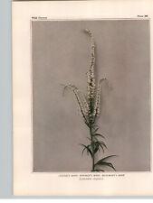 1934 Wildflower Book Plate Culver's Root Golden Hyssop American Brooklime