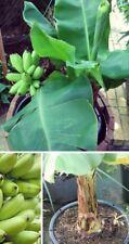 Zwerg-Essbanane Bananen für die Wohnung immergrüne blühende Pflanzen Obst Gemüse
