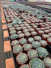 "Succulents & Cactus different Variety in 2"" inch pots Live Plants BARE ROOT"