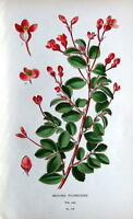 FUCHSIA BEGONIA, BEGONIA FUCHSIOIDES,Step Antique Botanical Flower Print 1897