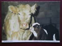 POSTCARD ANIMALS COW & CALF
