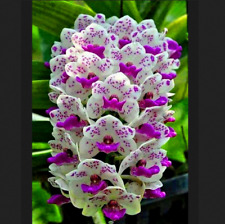 100 Pcs Seeds Cymbidium Orchid Orchids Flores Plants Bonsai Home And Garden New