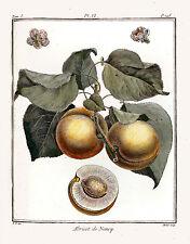 Antique prints de fruits. restauré & enhanced images pour impression-making/ventes dvd