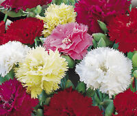 CARNATION CHABAUD MIXED COLORS Dianthus Caryophyllus - 200 Bulk Seeds