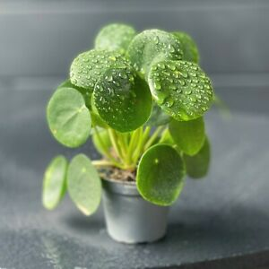 Pilea Peperomioides Parasol Chinese money starter plant Delivered to your door