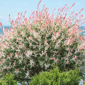 Salix integra Hakuro Nishiki-Flamingo Willow Plant in 12 cm pot