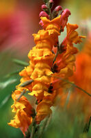 Snapdragon Seeds, Orange Wonder, Orange Snapdragons, Non-Gmo Heirloom, 100ct
