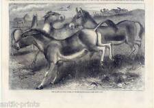 Kiang - Tibet-Wildesel - Equus kiang - Esel - Holzstich 1859