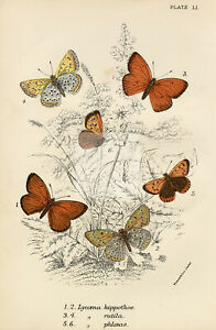 Antique Coloured Butterfly Print - 1896 Lloyd's Natural History #G48