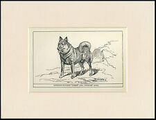 NORWEGIAN ELKHOUND RARE ANTIQUE 1900 ENGRAVING NAMED DOG PRINT READY MOUNTED