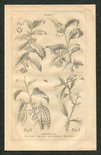 1871 Antique Botanical Print of Coffee Tea Beverage Plants Cocoa Chocolate Plant