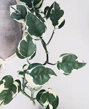 Epipremnum 'N-JOY' White Pothos Variegated Indoor Outdoor Plant Rare Shade Ivy