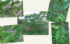 Coffee Plant Seeds - INDIAN ROBUSTA CHERRY - Exotic Houseplant - 25 Seeds
