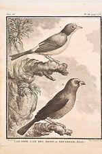 Histoire Naturelle Oiseaux Buffon 1780 le Pape le Bec Rond ou Bouvreuil Bleu