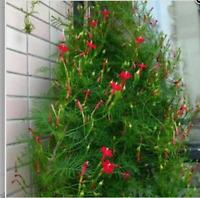 30 seeds / pack Cypress Vine seeds Pennata Home Garden garden decoration Bonsai