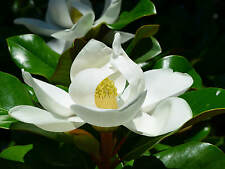 10 Semi Magnolia grandiflora Fiore profumatissimo Bianco Semillas Seeds Graines