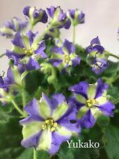 African Violet Chimera * Yukako *  Plant In Bloom !
