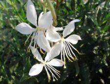 Gaura lindheimeri Flowers 15 Fresh Seeds Free Shipping