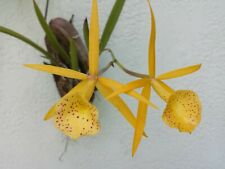 Orchid Cattleya Brassavola Yellow Bird mounted on porton of Florida Coconut
