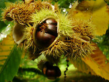 fruit tree, Sweet Chestnut Tree, CASTANEA sativa plant, hardy tree, edible
