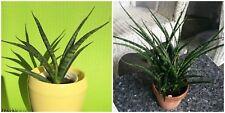 "Dwarf Fernwood Snake Plant Sansevieria Impossible to kill! Live Plants 4"""