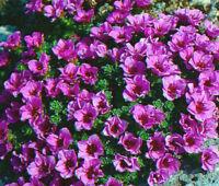 ROCKFOIL PURPLE ROBE Saxifraga Arendsii - 500 Bulk Seeds