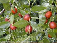 chinesische Dattel 6 frische Samen essbare Früchte ** winterfest Kübel Balkon