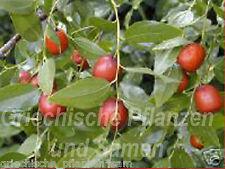 chinesische dattel 6 Semillas Frescas essbare frutos invierno maceta balcón