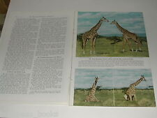 1950 magazine article on African Animals, color photos