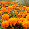 100pcs African Marigold Seeds Potted Plant Flower Seed Plants Garden Multi color