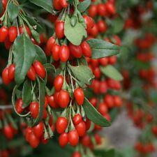 """Lycium """"Goji Berry"""" Plant"""