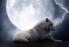 Framed Print – Wild White Wolf Laying with Full Moon (Animal Picture Poster Art)