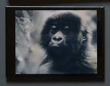 Peter Beard Fridge Photo Magnet 9x7cm, Baby Mountain Gorilla, 1984 Berggorilla