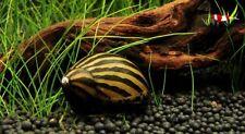 5 X Zebra Nerite Algae Eating Snail Tropical Aquarium Live