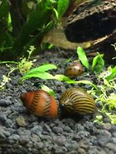 4 Live Nerite Snails, Freshwater Ornamental Tiger or Zebra Patterns