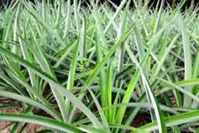 Pineapple - Plants Md2 - Pina - 3 Plants _ Ananas- Puerto Rico