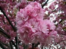 Japanese Pink Cherry Blossom Sakura Tree, Oriental Sweet Prunus Flower 20 Seeds