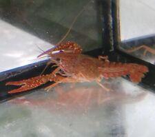 Lobster- Burnt Orange