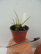 "orchid / orchidee Neofinetia falcata ""Juechongwang"" x Papil. vandarum"