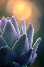 """50 Semi di """"CARCIOFO Viola di Provence"""" / Chioggia Orto Verdure"""