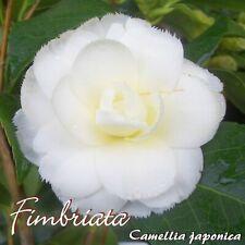 "Kamelie ""Fimbriata"" - Camellia japonica - 3-jährige Pflanze"