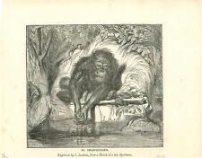alte Grafik Druck Stich, Orang Outang Affe von 1835  #E801