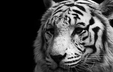Framed Print - White Tiger Standing in the Shadows (Picture Poster Animal Art)
